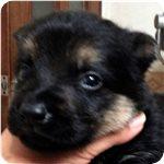 ジャーマンシェパードドッグ ブリーダー子犬販売専門店 AngelWan 横浜
