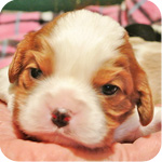 キャバリア ブレンハイム メス 子犬販売の専門店 AngelWan 横浜