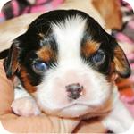 キャバリア トライカラー オス 子犬販売の専門店 AngelWan 横浜