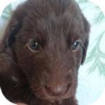 フラットコーテッドレトリバー ブリーダー 子犬販売の専門店 AngelWan 横浜