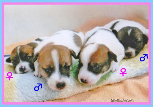 ジャックラッセルテリア タン&ホワイト 子犬販売の専門店 AngelWan 横浜