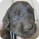 フラットコーテッドレトリバー レバー オス 子犬販売の専門店 AngelWan 横浜