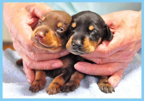 ドーベルマン ブラックタン チョコレートタン オス 子犬販売の専門店 AngelWan 横浜