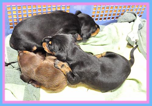 ドーベルマン ブラックタン チョコレートタン 子犬販売の専門店 AngelWan 横浜