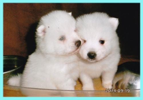 スピッツ ホワイト オス 子犬販売の専門店 AngelWan 横浜