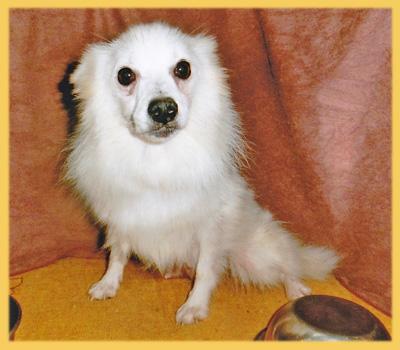 スピッツ ホワイト 母犬 子犬販売の専門店 AngelWan 横浜