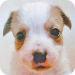 ジャックラッセルテリア オス 子犬販売の専門店 AngelWan 横浜