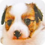 パピヨン ホワイト&レッド オス 子犬販売の専門店 AngelWan 横浜