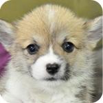 コーギー 子犬販売の専門店 AngelWan 横浜