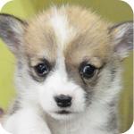 コーギー メス 子犬販売の専門店 AngelWan 横浜