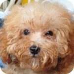 トイプードル アプリコット メス 子犬販売の専門店 AngelWan 横浜
