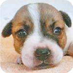 ジャックラッセルテリア タン&ホワイト オス 子犬販売の専門店 AngelWan 横浜
