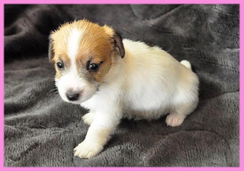 ジャックラッセルテリア タン&ホワイト メス 子犬販売の専門店 AngelWan 横浜