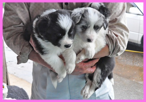 ボーダーコリー メス 子犬販売の専門店 AngelWan 横浜