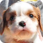 キャバリア ブレンハイム オス 子犬販売の専門店 AngelWan 横浜