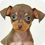 ミニチュアピンシャー チョコレートタン メス 子犬販売の専門店 AngelWan 横浜