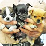 チワワ スムース 子犬販売の専門店 AngelWan 横浜