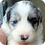 ボーダーコリー ブルーマール メス 子犬販売の専門店 AngelWan 横浜