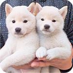 柴犬 白 メス 子犬販売の専門店 AngelWan 横浜