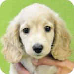 ミニチュアダックスフンド ピュアクリーム オス 子犬販売の専門店 AngelWan 横浜