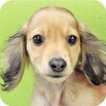 ミニチュアダックスフンド シェーデッドクリーム メス 子犬販売の専門店 AngelWan 横浜