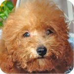 トイプードル レッド オス 子犬販売の専門店 AngelWan 横浜