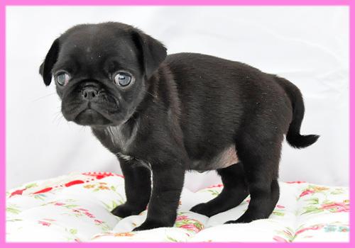 パグ ブラック メス 子犬販売の専門店 AngelWan 横浜