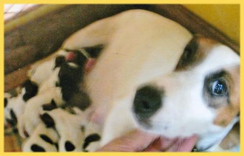 ジャックラッセルテリア オス メス 子犬販売の専門店 AngelWan 横浜