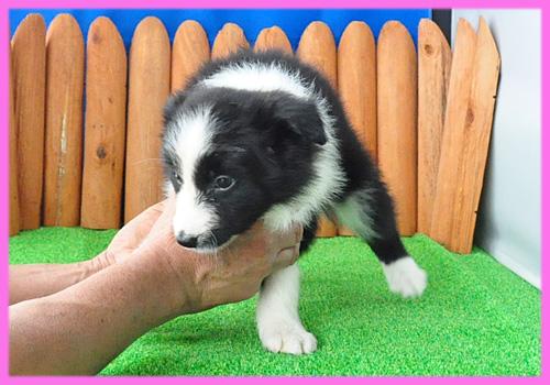 ボーダーコリー ブラック&ホワイト メス 子犬販売の専門店 AngelWan 横浜