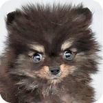 ポメラニアン ブラック&タン メス 子犬販売の専門店 AngelWan 横浜