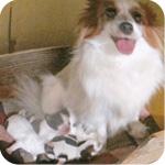 パピヨン レッド&ホワイト オス 子犬販売の専門店 AngelWan 横浜
