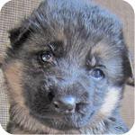ジャーマンシェパード ブラックタン メス 子犬販売の専門店 AngelWan 横浜