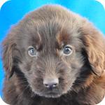フラットコーテッドレトリバー レバー 子犬販売の専門店 AngelWan 横浜