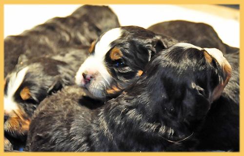 バーニーズマウンテンドッグ 子犬販売の専門店 AngelWan 横浜
