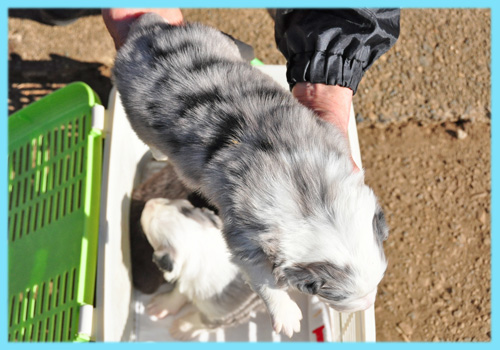 ボーダーコリー ブルーマール オス 子犬販売専門店 AngelWan 横浜
