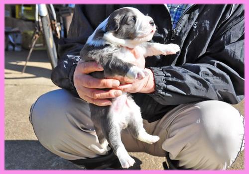 ボーダーコリー ブルー&ホワイト メス 子犬販売の専門店 AngelWan 横浜