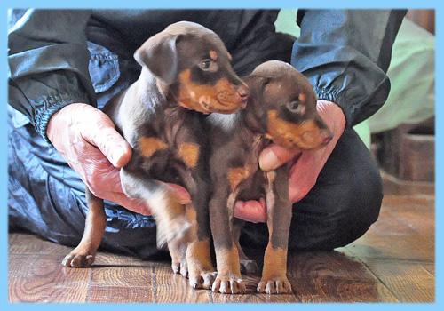 ドーベルマン チョコレートタン オス 子犬販売の専門店 AngelWan 横浜