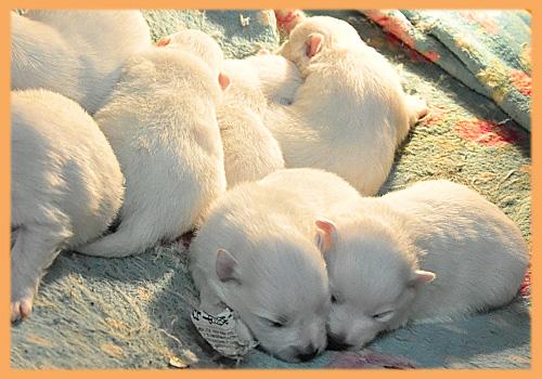スピッツ ホワイト 子犬販売の専門店 AngelWan 横浜