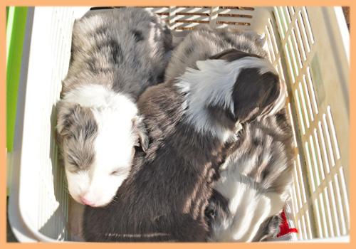 ボーダーコリー 子犬販売の専門店 AngelWan 横浜