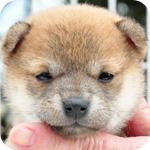 豆柴 赤 メス 子犬販売の専門店 AngelWan 横浜