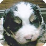バーニーズマウンテンドッグ オス 子犬販売の専門店 AngelWan 横浜