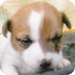 ジャックラッセルテリア メス 子犬販売の専門店 AngelWan 横浜