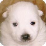 スピッツ オス 子犬販売の専門店 AngelWan 横浜
