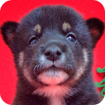 豆柴 黒 オス 子犬販売の専門店 AngelWan 横浜