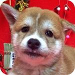 豆柴 赤 オス 子犬販売の専門店 AngelWan 横浜