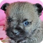 ケアーンテリア ウィートン オス 子犬販売の専門店 AngelWan 横浜