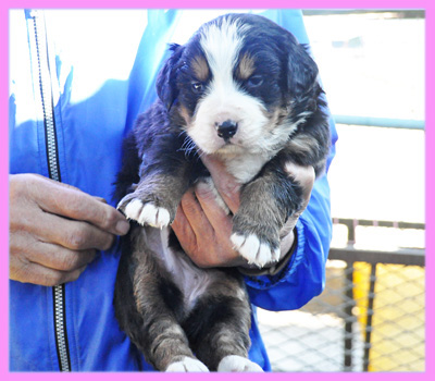 バーニーズマウンテンドッグ メス 子犬販売の専門店 AngelWan 横浜