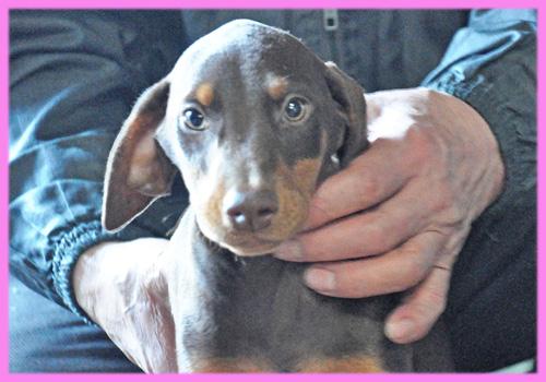 ドーベルマン メス 子犬販売の専門店 AngelWan 横浜