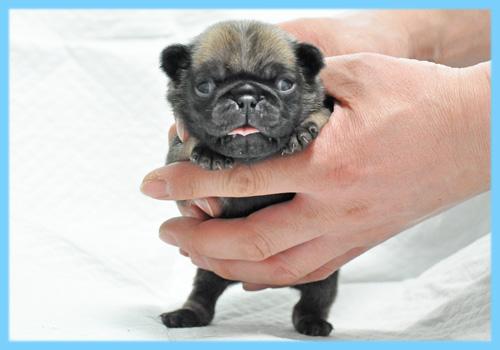 パグ フォーン オス 子犬販売の専門店 AngelWan 横浜