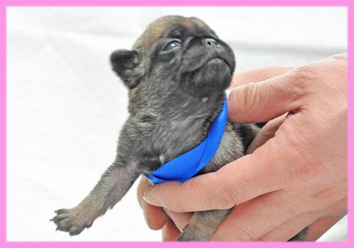 パグ フォーン メス 子犬販売の専門店 AngelWan 横浜